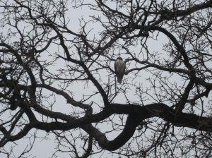 Hawk Watching Over
